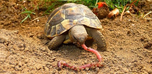 elevage tortues de terre