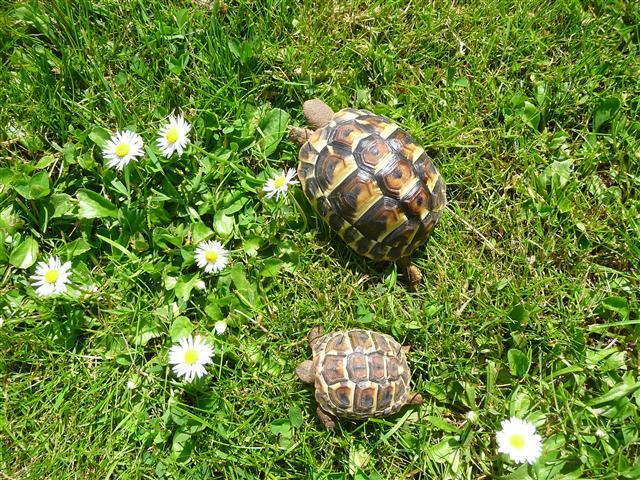 Elevage de tortues d'Hermann
