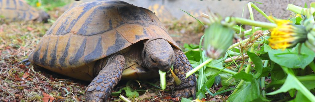 tortue terrestre pissenlit tortue d'Hermann