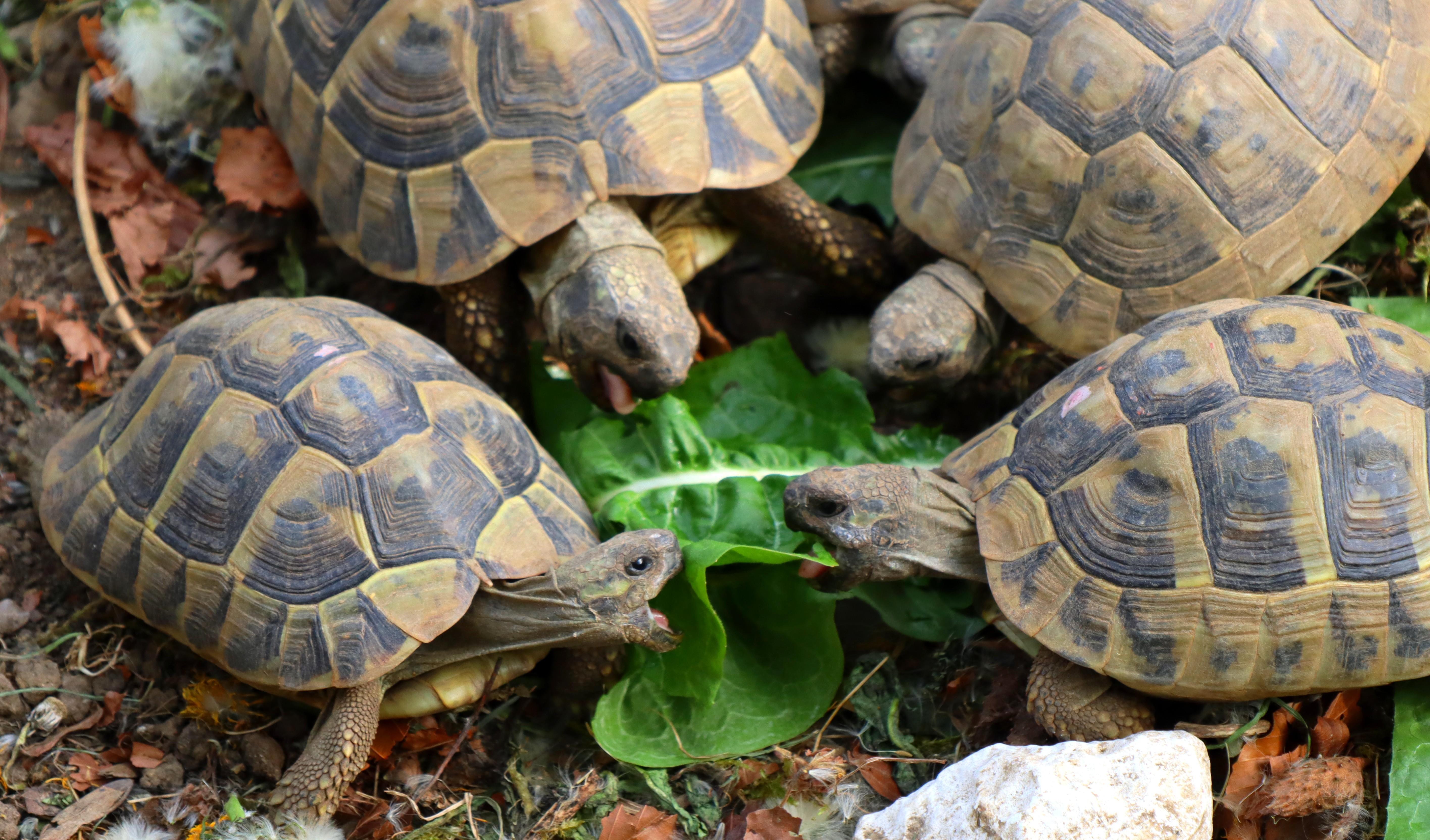 tortue terrestre alimentation chicorée